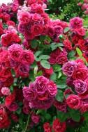 Róża miniaturowa (Rosa chinensis minima). Fot. Fotolia